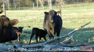 16 Angus Gelbvieh Cross Brood Cows w/ 10 Calves (more cows to freshen)